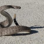Dreams About Rattlesnakes – Meaning and Symbolism