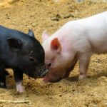 Black Pig in Dream – Meaning and Symbolism