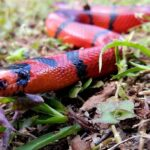 Red Snake Dream – Meaning and Symbolism