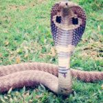 King Cobra in Dream – Meaning and Symbolism